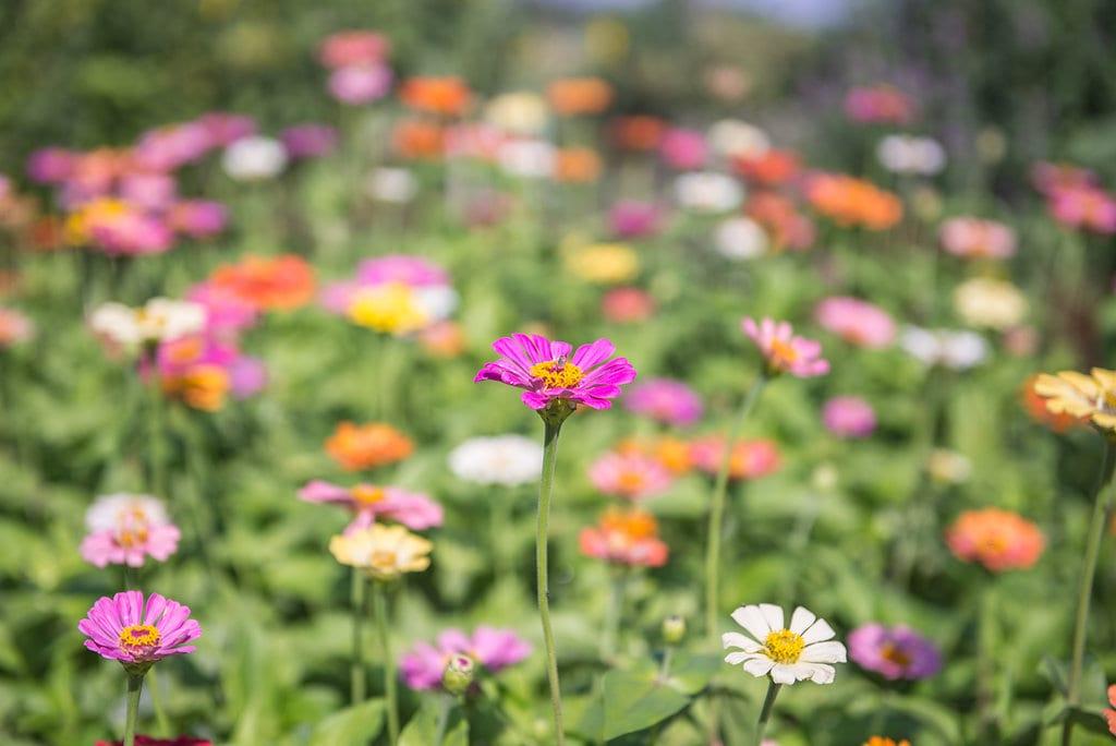 פרחים הרדוף ענבל כבירי