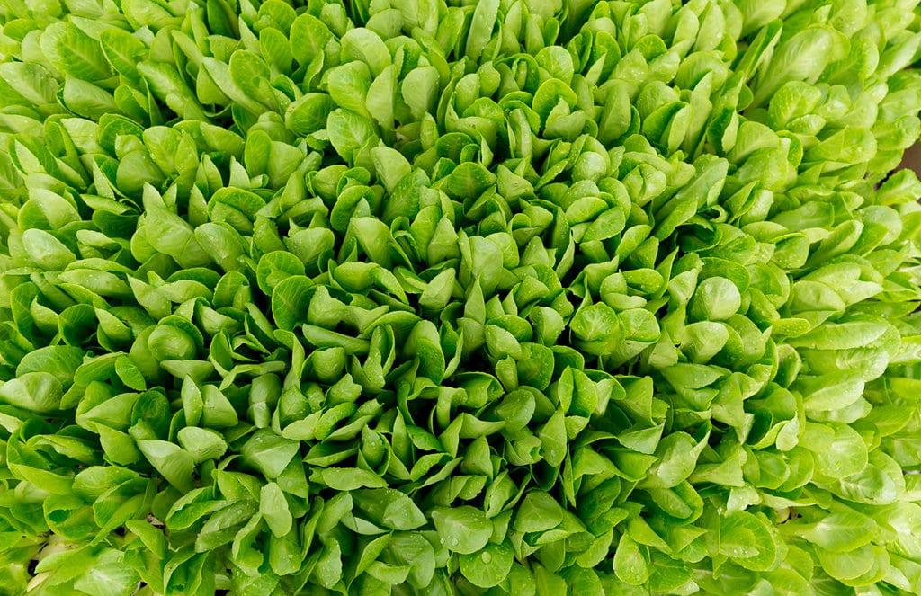 Lettuce Harduf Inbal Cabiri